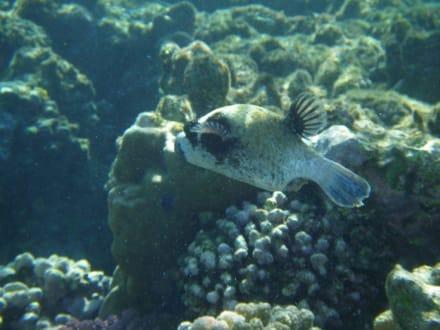 Maskenkugelfisch am Hausriff Hotel Iberotel Lamaya Resort - Tauchen Marsa Alam