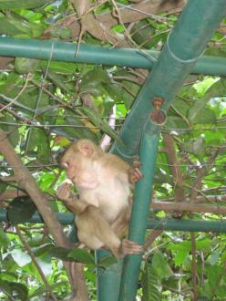 kleiner Affe - Affenberg