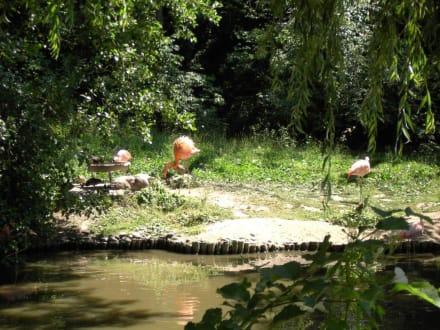 Rosa Flamingos - Zoo Schmiding