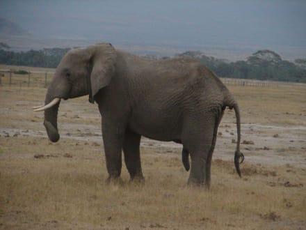 Elefantenbulle - Amboseli Nationalpark
