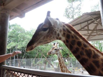 Fütterung der Giraffen - The Million Years Stone Park & Crocodile Farm