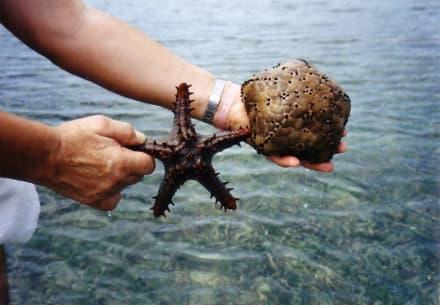 auch Sterne des Meeres. - Tauchen & Schnorcheln Diani Beach