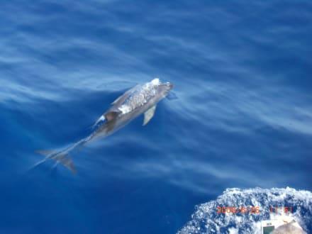 Delfine - Schifffahrt Puerto Rico