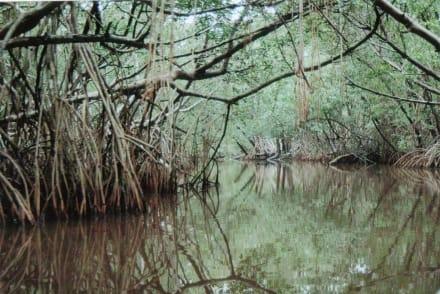 Mangroven - Küste Miches