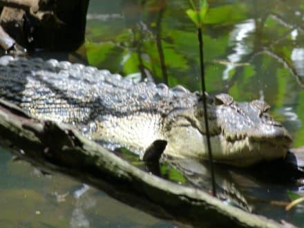 Krokodil gesichtet bei der Bootsfahrt - Bentota Fluss- und Mangroven Tour