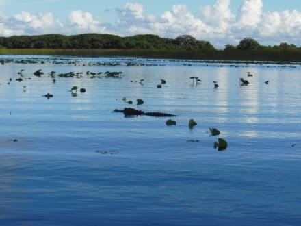Alligator - Everglades National Park