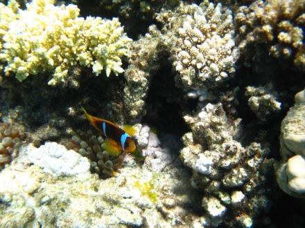Clownfisch - Sharm El Naga