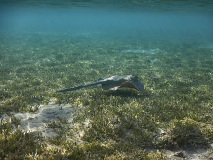 Blaupunkt-Rochen im Seegrasfeld - Schnorcheln Coraya Bay Marsa Alam