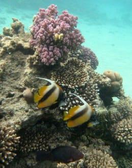 Fische - Tauchen Nabq Bay