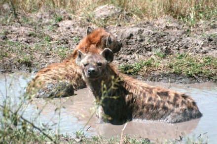 Hyäne - Masai Mara Safari