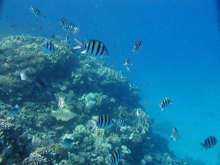 Fische - Tauchen Makadi Bay