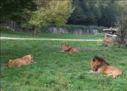 Löwen - Natura Viva Park