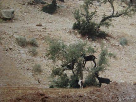 Die Ziegen auf dem Baum - Tafraoute