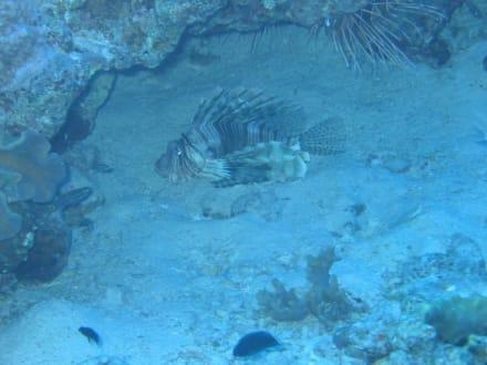 Rotfeuerfisch - Tauchen Hurghada