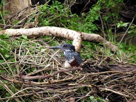 Prächtiger Vogel im Hluhluwe Park - Hluhluwe Game Reserve
