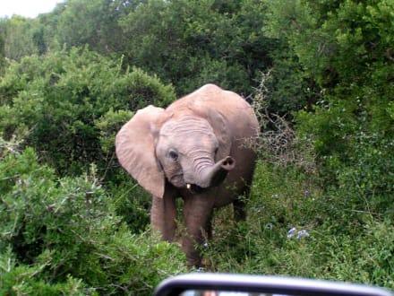 kleiner Elefant - Krüger Nationalpark