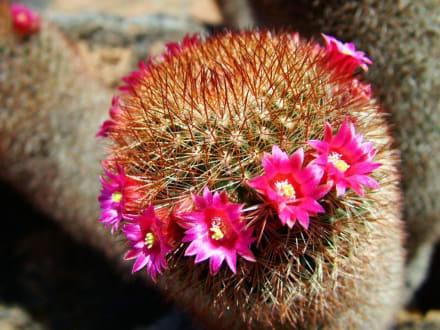 Kaktusgarten 1 - Jardin de Cactus / Kaktusgarten Guatiza