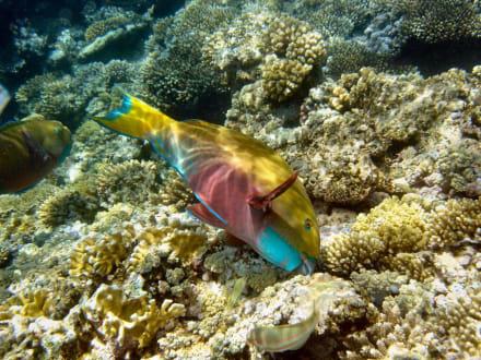 Fische am Hausriff - Schnorcheln Sharm el Sheikh