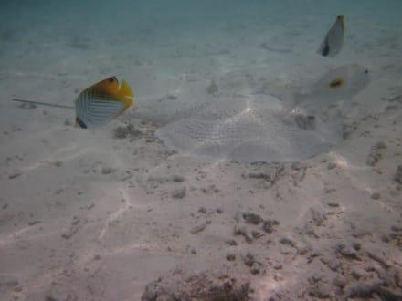 Rochen in der Lagune - Schnorcheln Süd-Malé-Atoll