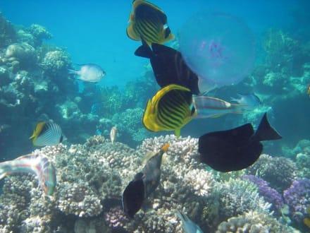 Bunte Fische und Qualle - Schnorcheln Sharm el Sheikh