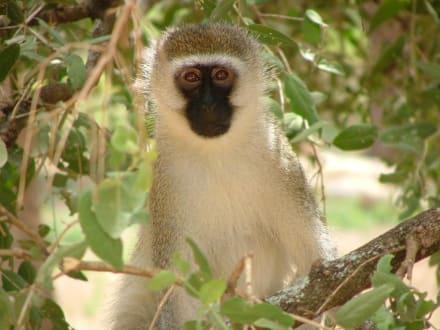 Affe im Baum - Tsavo Ost Nationalpark