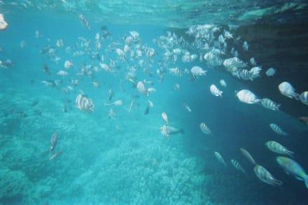 Fischschwarm - Schnorcheln Hurghada