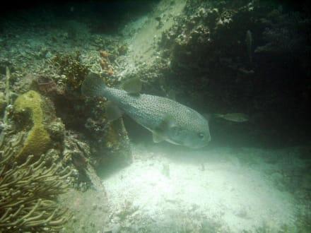 Fische die noch nicht vor Tauchern abhauen  - Tauchen Playa el Tirano