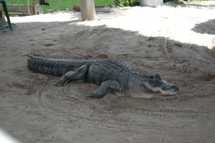 großer Alligator - Gator Park