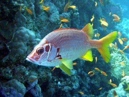 Fische - Tauchen Hurghada