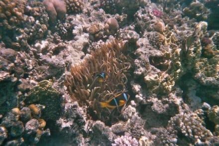 Nemo aus dem Roten Meer - Tauchen Makadi Bay