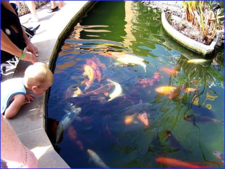 Koi-Karpfen-Teich in bunt - Marineland