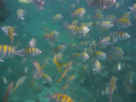 Gitterdoktoren- oder Soldatenfische - Katamaran Tour Tropical Storm Punta Cana