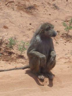 Pavian - Tsavo Ost Nationalpark