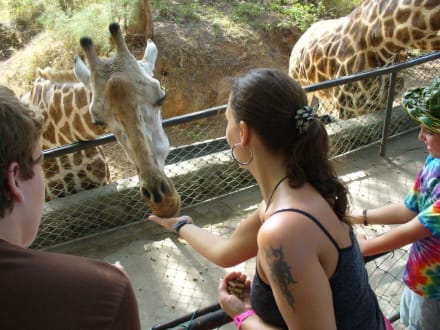 Giraffenfütterung - Haller Park