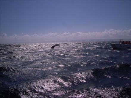 Walbeobachtung - Whale Watching Samana