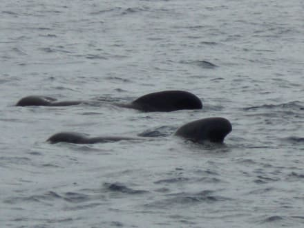 Kugelkopwale - Whale Watching Tarifa