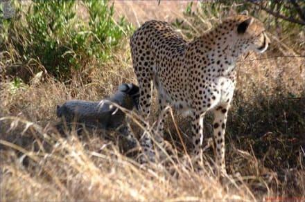Gepard mit Jungen - Kuba - Masai Mara Safari