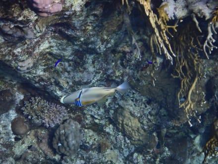 Bunter Drücker - Schnorcheln Coraya Bay Marsa Alam