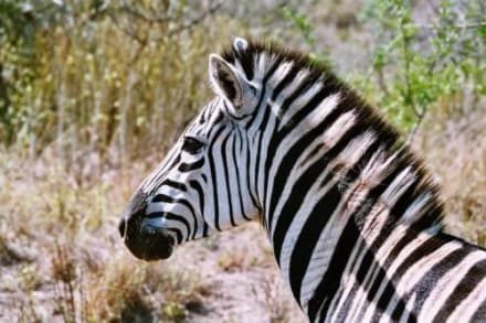 Zebra im Hluhluwe Nationalpark - Hluhluwe Game Reserve