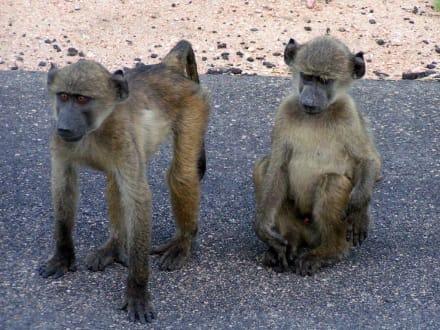 Affen - Krüger Nationalpark