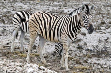 Zebras in der Etosha Pfanne - Etosha Nationalpark