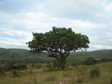 Wurstbaum - Lake Nakuru Nationalpark