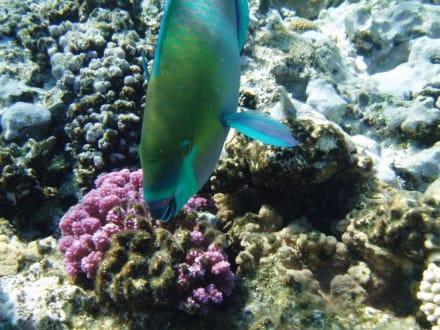 Papageienfisch - Ausflug mit Mohamed