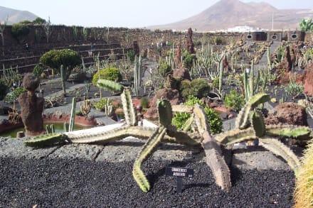 Jardin de Cactus bei Guatiza - Jardin de Cactus / Kaktusgarten Guatiza