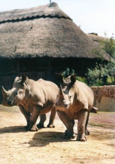 Nashörner - ZOOM Erlebniswelt Gelsenkirchen (Zoo)
