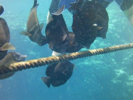 Fische - Tauchen Samaya Hausriff Marsa Alam