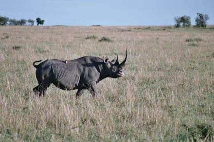 Das letzte Nashorn in der Masai Mara - Masai Mara Safari