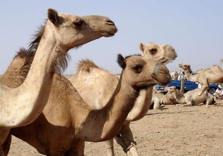 Kamelmarkt2 - Kamelmarkt Shalateen