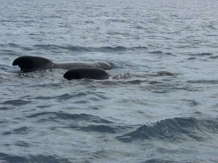 Kugelkopfwale - Whale Watching Tarifa
