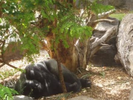 Gorilla-Gehege - Loro Parque